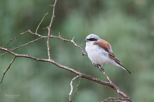 Red-backed Shrike, Pilansberg National Park, SA, Dec 2013-1