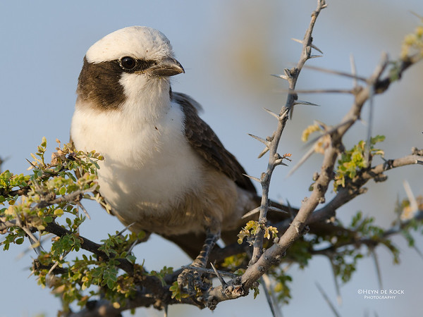 Southern White-crowned Shrike, Etosha NP, NAM, Jul 2011-1