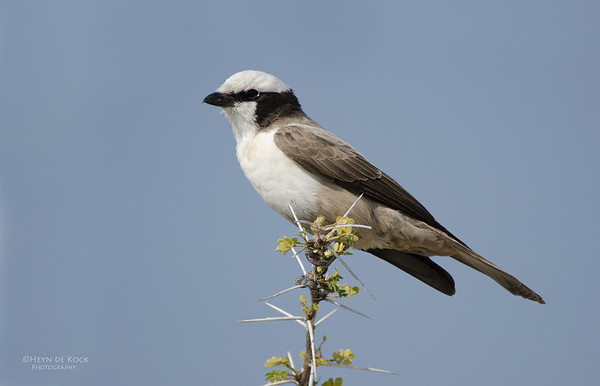 White-crowned Shrike, Etosha, Namibia, Jul 2011