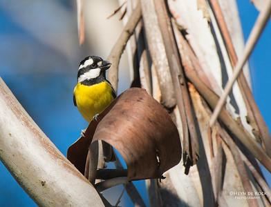 Crested Shrike-tit, Mulgoa NR, NSW, Aug 2013-3