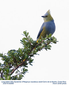 Long-tailed Silky-flycatcher A92889