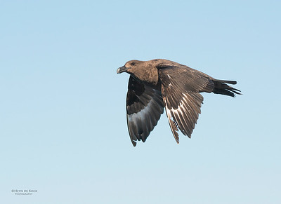 Brown Skua, Wollongong Pelagic, NSW, Aus, Aug 2013-1