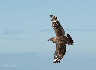 Brown Skua, Wollongong Pelagic, NSW, Aus, Sept 2012-1