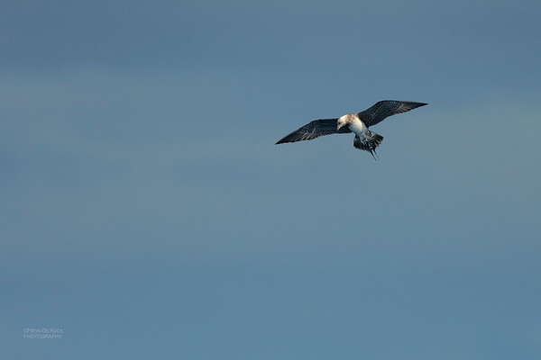 Long-tailed Jaeger, Southport Pelagic, QLD, Sept 2020-2