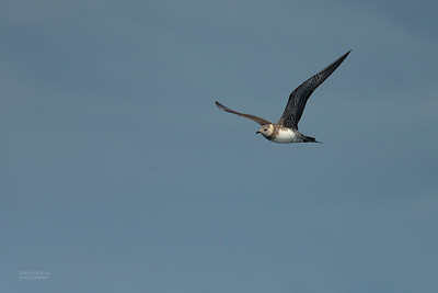 Long-tailed Jaeger, Southport Pelagic, QLD, Sept 2020-1