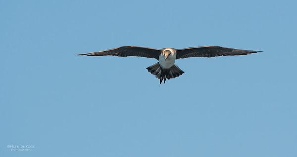Arctic Jaeger, Wollongong Pelagic, NSW, Aus, Sep 2013