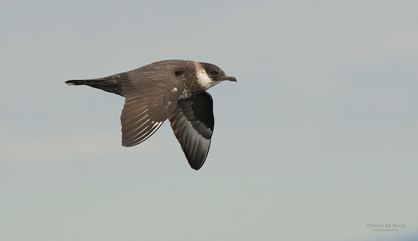 Pomarine Jaeger, Wollongong Pelagic, NSW, Aus, Feb 2014-3