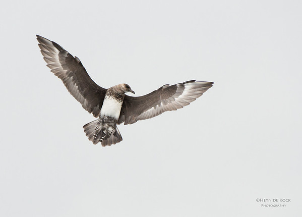 Pomarine Jaeger, Wollongong Pelagic, NSW, Aus, Feb 2014-1