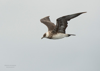 Pomarine Jaeger, Wollongong Pelagic, NSW, Aus, Feb 2014