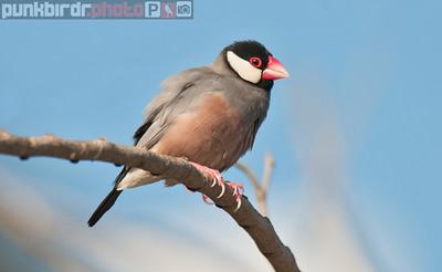 java sparrow (padda oryzivora)