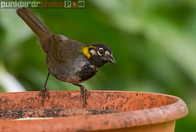 white-eared ground-sparrow (melozone leucotis)