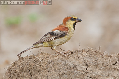 plain-backed sparrow (passer flaveolus)