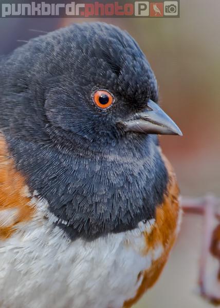 spotted towhee (pipilo maculatus)