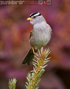 White-crowned Sparrow (Zonotrichia leucophrys)