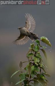 Andean Tit-Spinetail (Leptasthenura andicola)