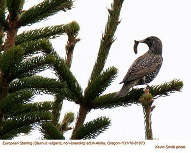 European Starling A81073