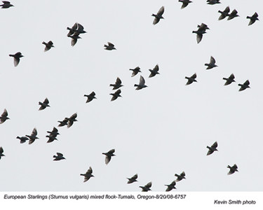 EuropeanStarlings6757