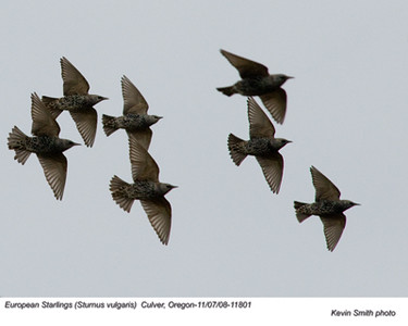 EuropeanStarlings11801