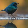 Cape Glossy Starling, Zimanga, KZN, South Africa, May 2017-1