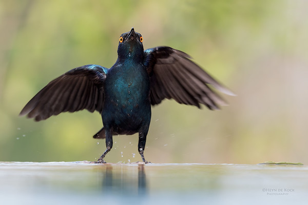 Cape Glossy Starling, Sabi Sands (EP), SA, Oct 2016-1
