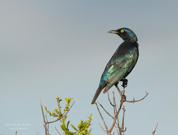 Cape Glossy Starling, Hluhluwe-Imfolozi NP, KZN, SA, Jan 2014