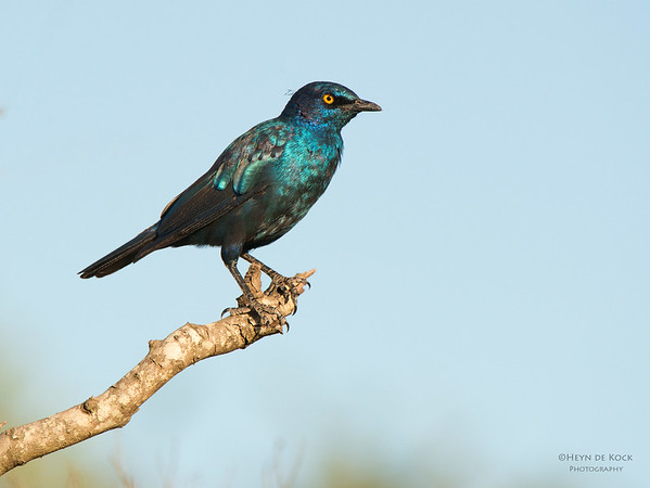 Cape Glossy Starling, Mkuze GR, KZN, SA, Jan 2014