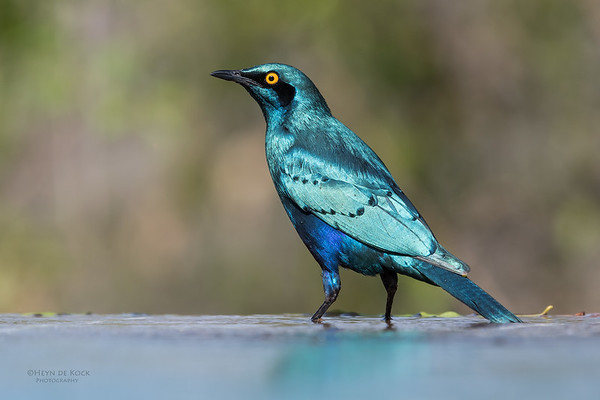 Greater Blue-eared Starling, Sabi Sands (EP), SA, Oct 2016-10