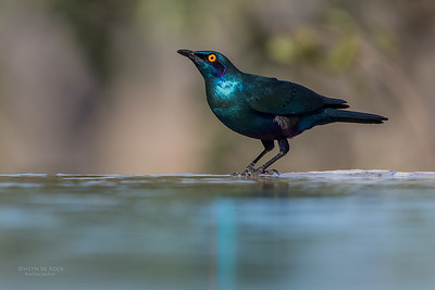 Greater Blue-eared Starling, Sabi Sands (EP), SA, Oct 2016-2