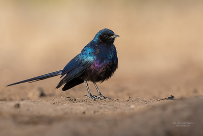 Meve's Starling, Mashatu GR, Botswana, May 2017-4