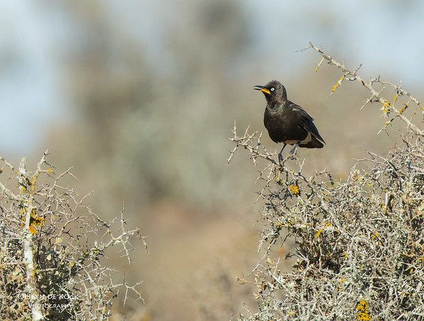 Pied Starling, West Coast NP, WC, SA, Jan 2014