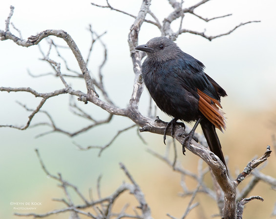 Red-winged Starling, f, Table Mountain NP, WC, SA, Jan 2014-1