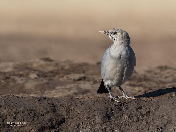 Wattled Starling, Mashatu GR, Botswana, May 2017-3