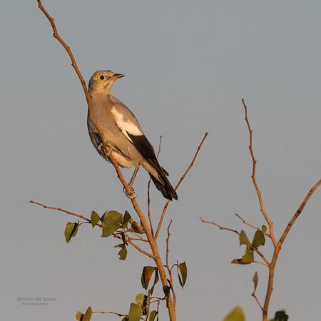 Wattled Starling, Mashatu GR, Botswana, May 2017-1
