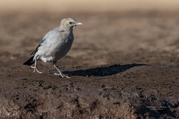 Wattled Starling, Mashatu GR, Botswana, May 2017-4