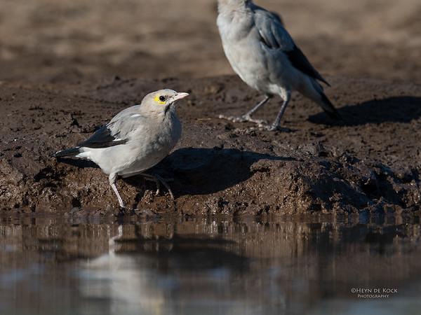 Wattled Starling, Mashatu GR, Botswana, May 2017-2