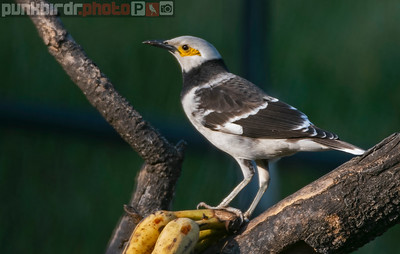 Black-collared Starling (Gracupica nigricollis)