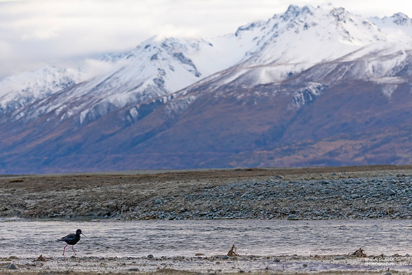 Black Stilt, Lake Pukaki, SI, NZ, Aug 2018-4