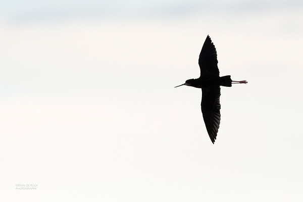 Black Stilt, Lake Pukaki, SI, NZ, Aug 2018-2