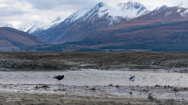 Black Stilt, Lake Pukaki, SI, NZ, Aug 2018-13