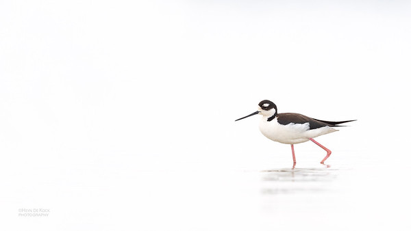 Black-necked Stilt, Fort De Soto, St Petersburg, FL, USA, May 2018-1