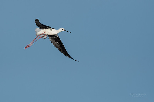 Black-winged Stilt, Hobhouse, FS, SA, Oct 2016-1