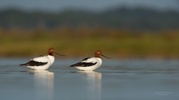 Red-necked Avocet, Lake Wollumboola, NSW, Nov 2014-9
