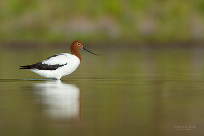 Red-necked Avocet, Lake Wollumboola, NSW, Nov 2014-5