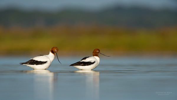 Red-necked Avocet, Lake Wollumboola, NSW, Nov 2014-2