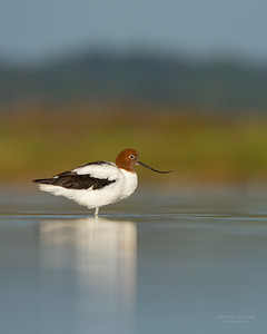Red-necked Avocet, Lake Wollumboola, NSW, Nov 2014-6