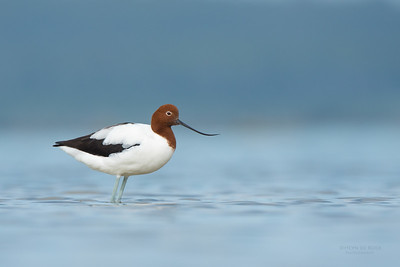 Red-necked Avocet, Lake Wollumboola, NSW, Nov 2014-1