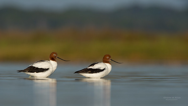 Red-necked Avocet, Lake Wollumboola, NSW, Nov 2014-8