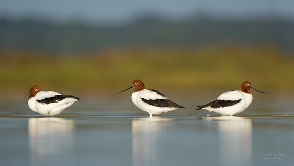 Red-necked Avocet, Lake Wollumboola, NSW, Nov 2014-7