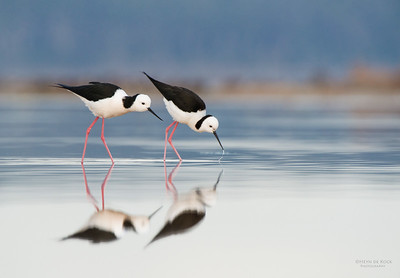 Black-winged Stilt, Lake Woolumbulla, NSW, Aus, Jul 2014-2