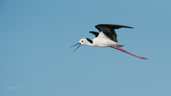 Black-winged Stilt, Lake Wollumboola, NSW, Nov 2014-1